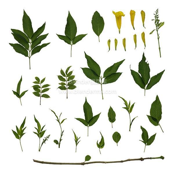 绿色黄钟花树叶叶子